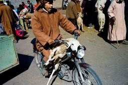 Sogar auf Mopeds werden die Hammel nach Hause gebracht.