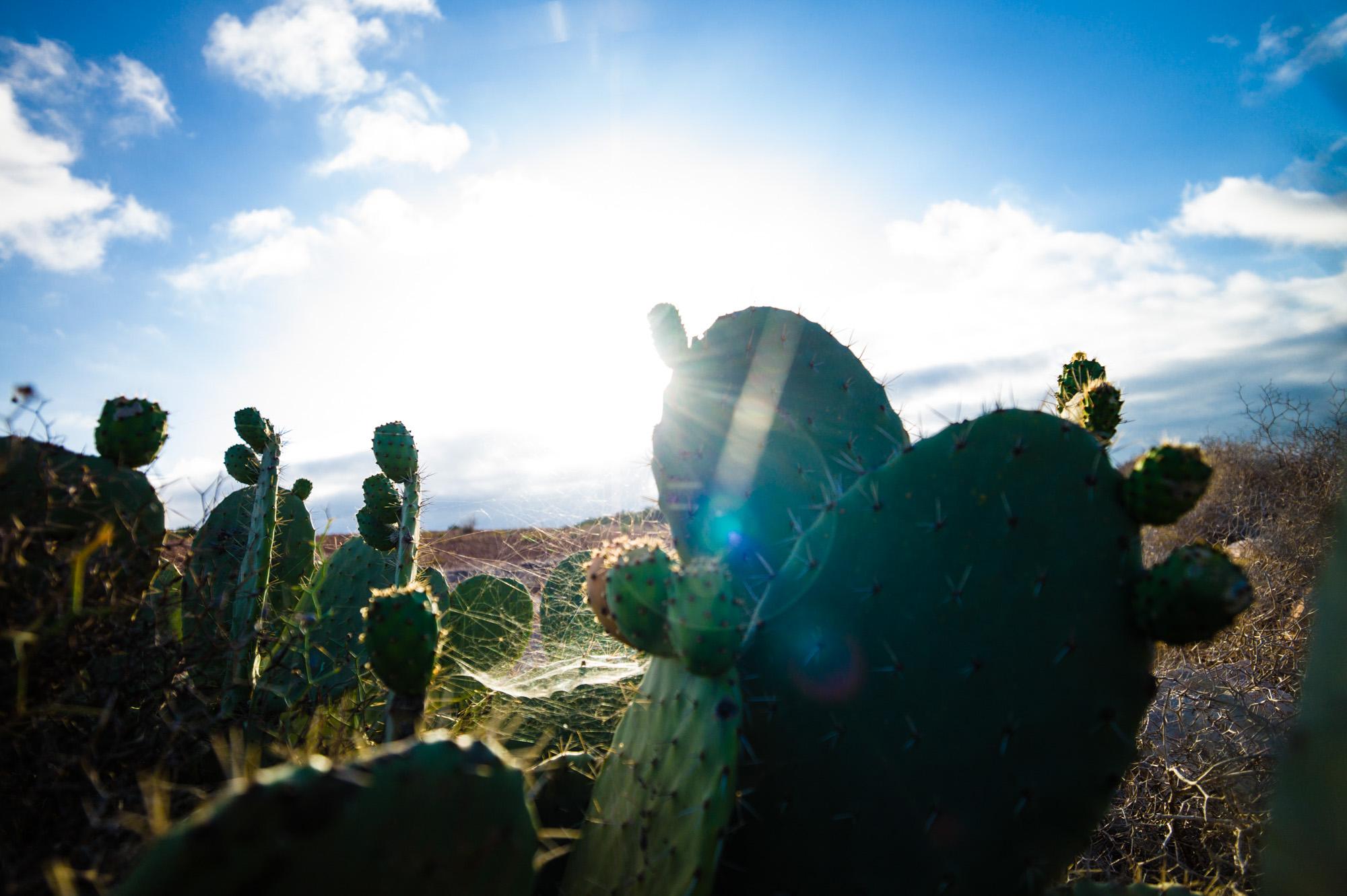 Das Kaktusfeld