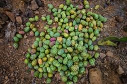 die Kaktusfeigen, manche sind Gelb andere Purpur